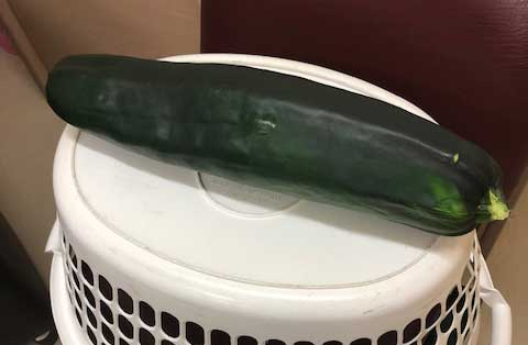 giant zuccini grown by WAMS